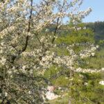 Blühender Baum mit Kirche
